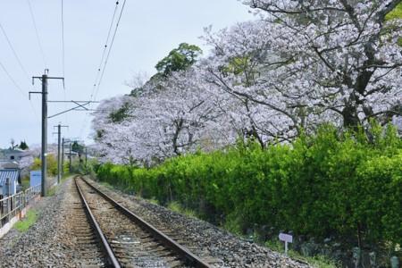 陶山神社の線路と桜